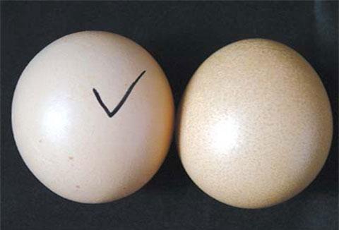 Cách phân biệt trứng gà ta với gà công nghiệp tẩy trắng cực dễ